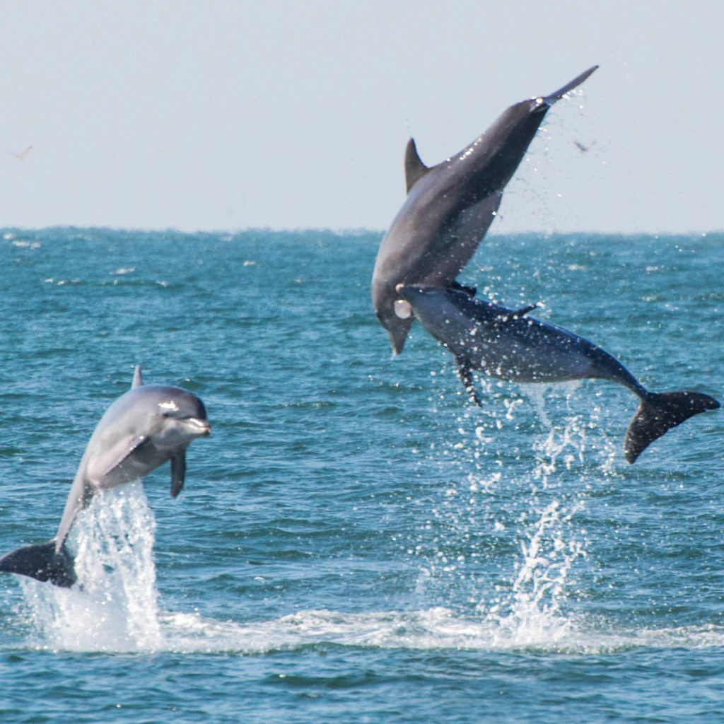 Dolphins playing in the Gulf of Mexico